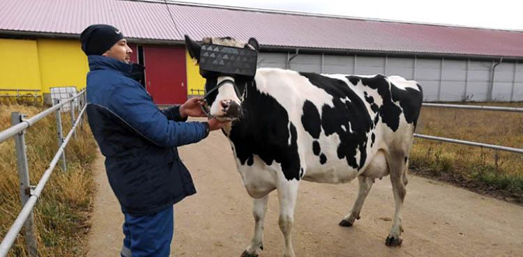 VR Glasses Cows