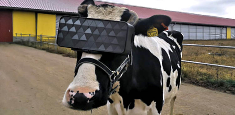 VR Glasses Cows