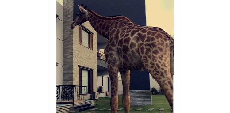 Giraffes as Pets